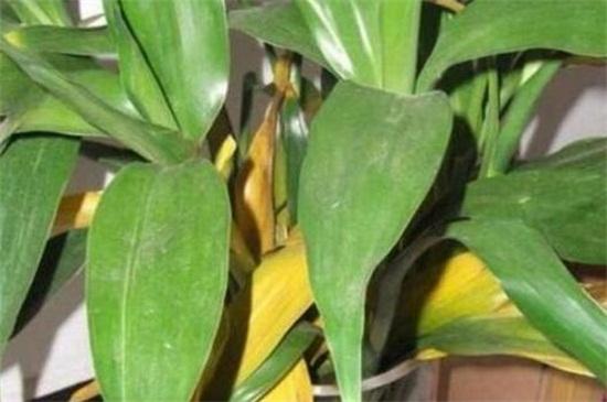 百合花叶子发黄怎么办