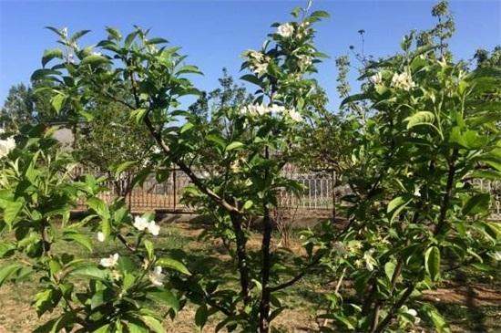 家中为何不能种黑枣树绿植屋,汁液有毒还会影响运势发展