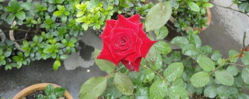 怎么救活快死的玫瑰花