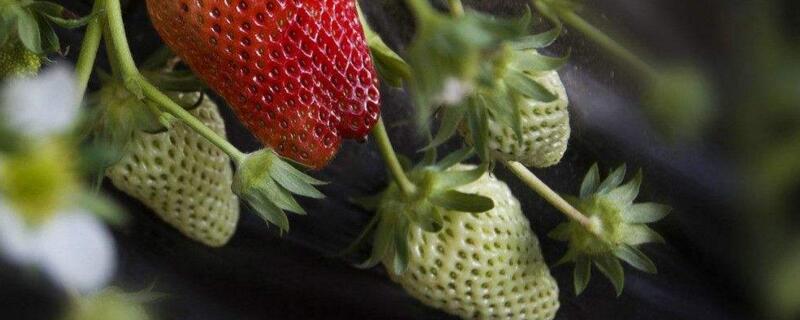 家庭阳台草莓种植方法