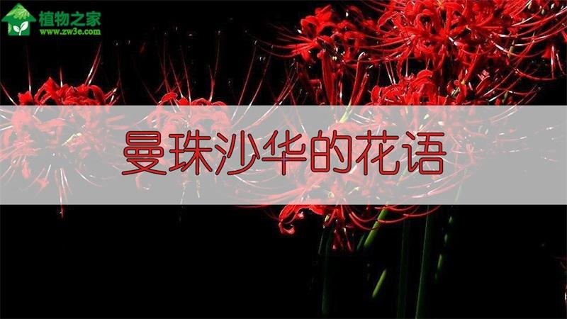 曼珠沙华的花语