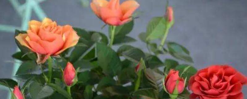 盆栽玫瑰花冬天怎么养