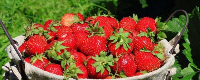 一亩大棚草莓种植利润