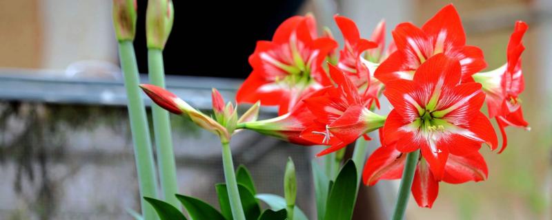 朱顶红几月份剪叶子