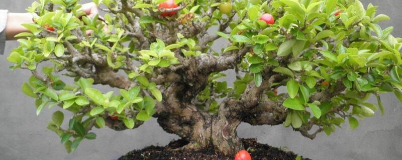 车厘子盆栽种植方法