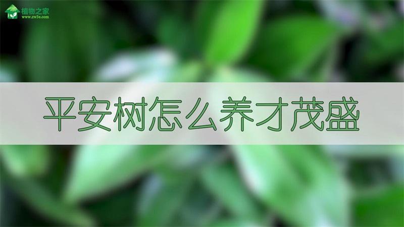 平安树怎么养才茂盛