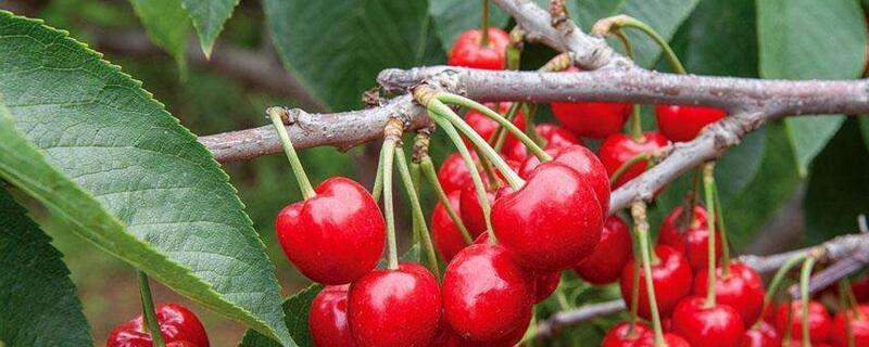 车厘子树和樱桃树叶子辨别
