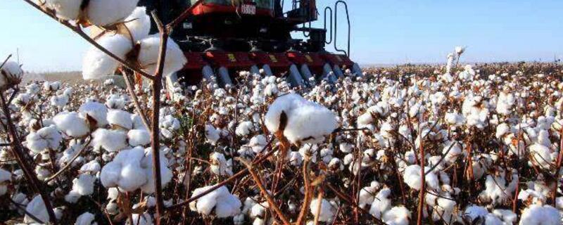 新疆棉花价格行情