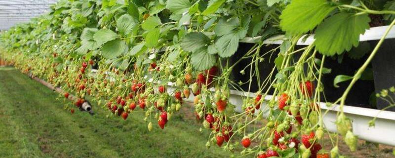 草莓种植技术和管理