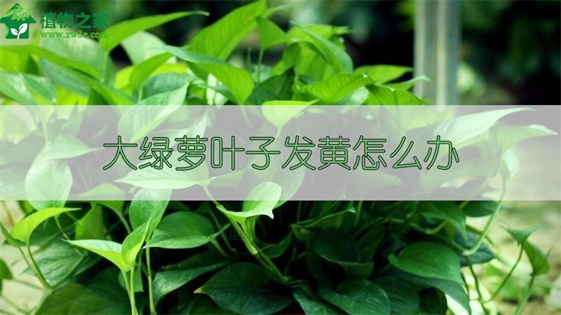 大绿萝叶子发黄怎么办