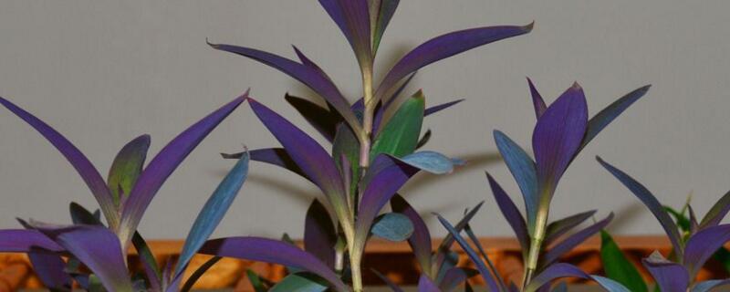 紫竹梅冬天怎样修剪