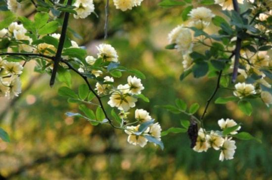 木香花的养殖方法和注意事项