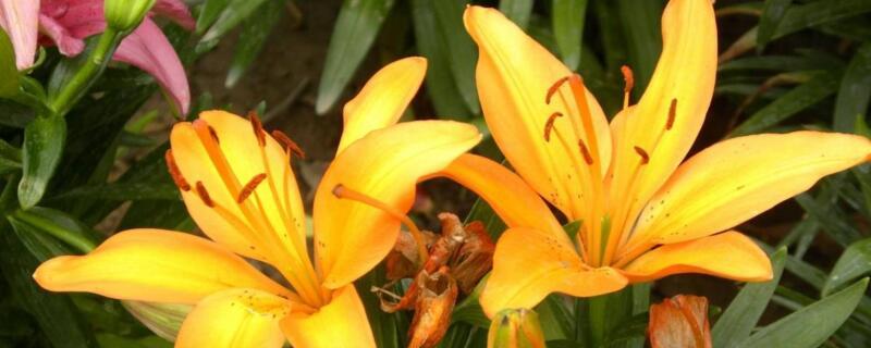 百合花种植方法