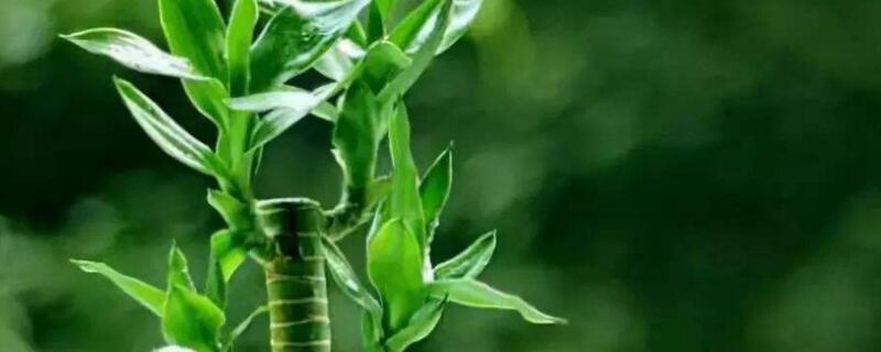 富贵竹的种植方法