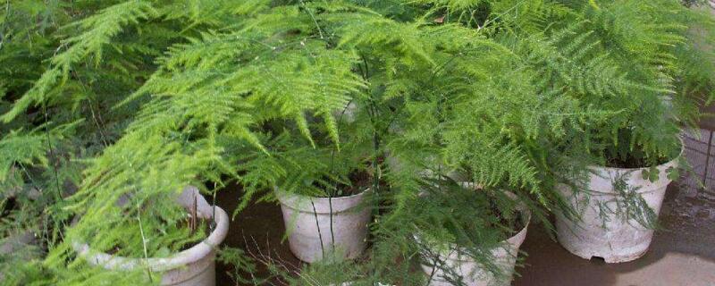文竹浇水的正确方法