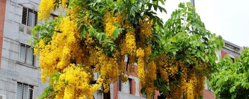 腊肠树的养殖方法和注意事项