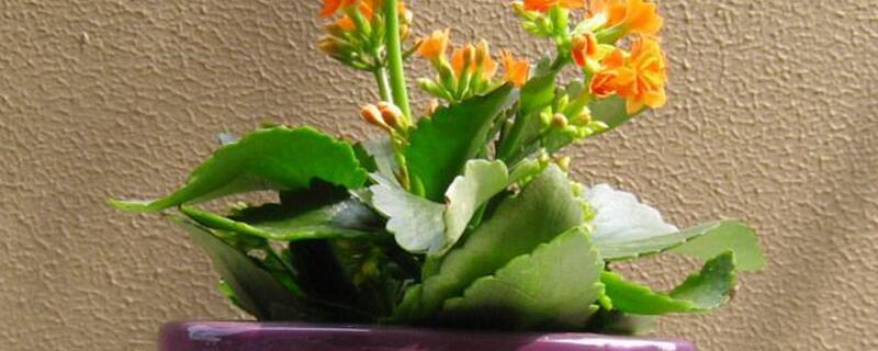 长寿花一年开几次花