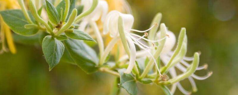 金银花种植方法
