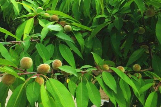 山桃和碧桃的区别
