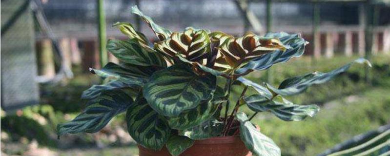 孔雀竹芋的养殖方法和注意事项