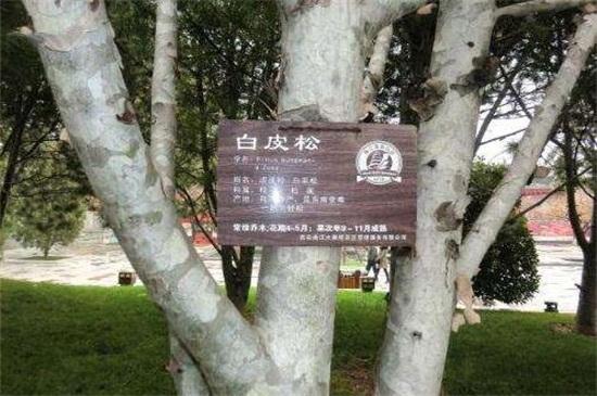 松树的种类名称及图片