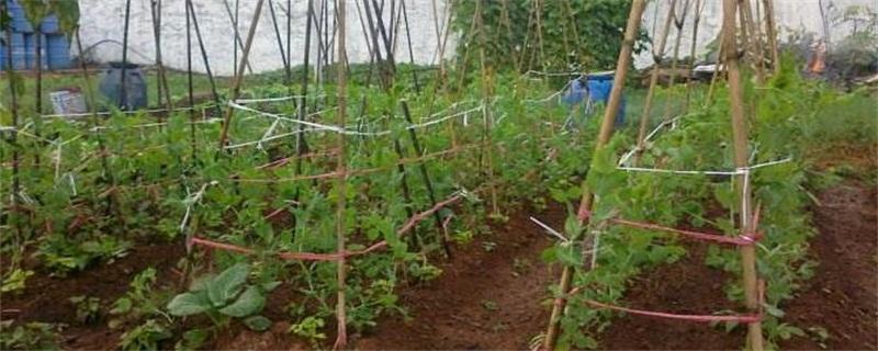豌豆种植时间和方法