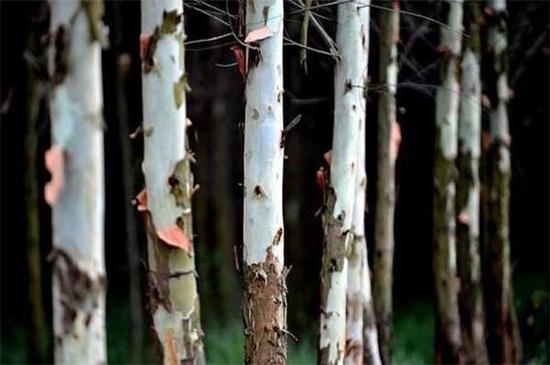 桉树对人体有哪些危害