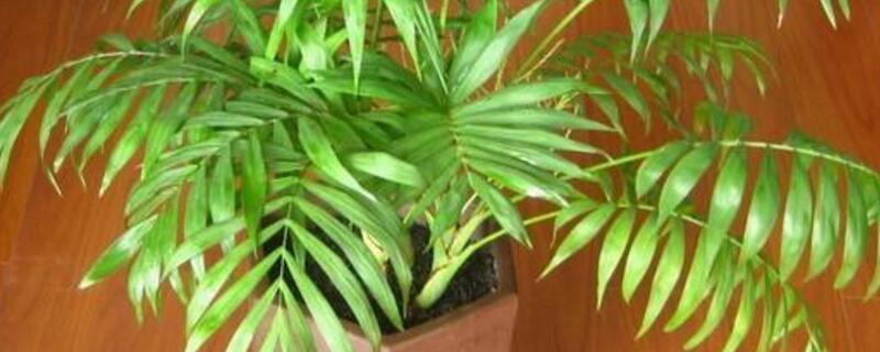 富贵椰子的养殖方法和注意事项
