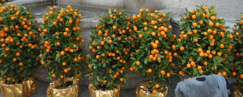 北方盆栽桔子树怎么养