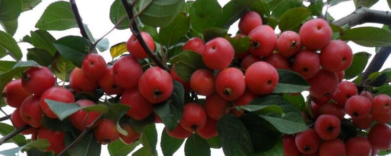 冬红海棠可以吃吗