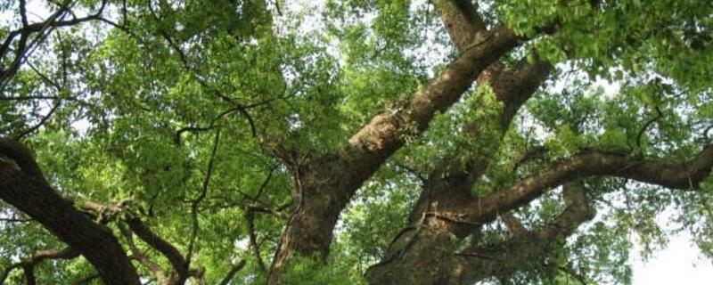 城市绿化树木品种