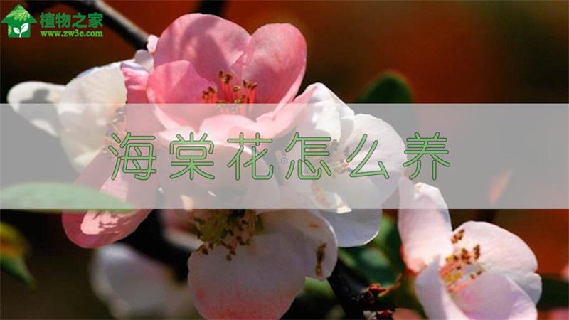 海棠花怎么养