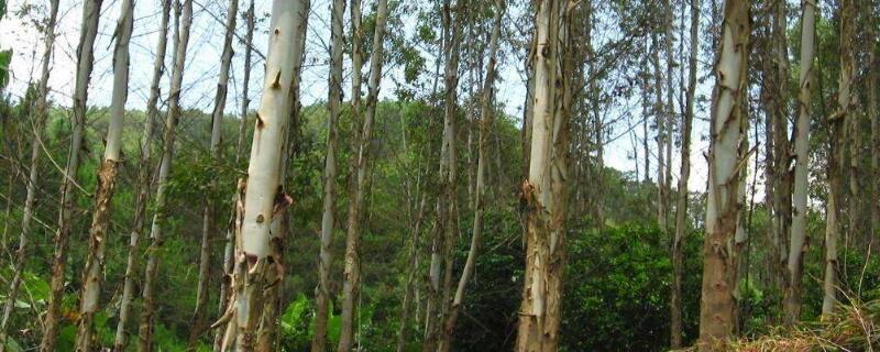 桉树散发的气味有毒吗