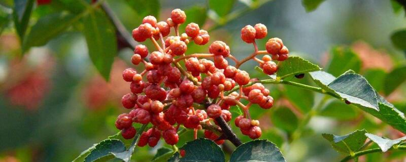 花椒树的种植方法