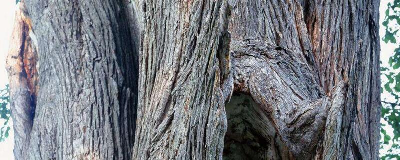 榔榆和榆树的区别