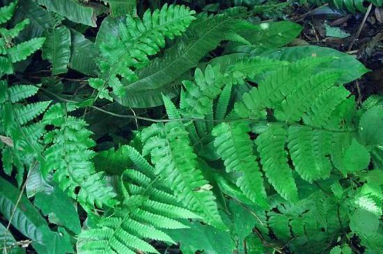水蕨的养殖方法和注意事项