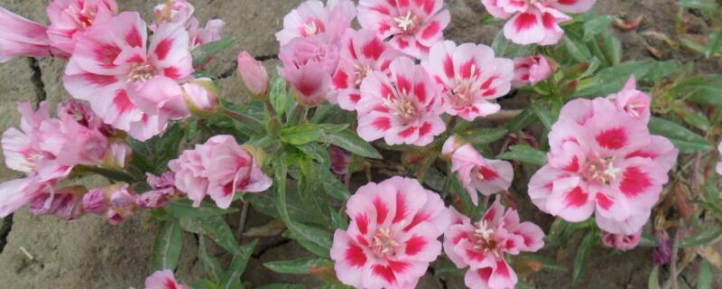 送春花的养殖方法和注意事项