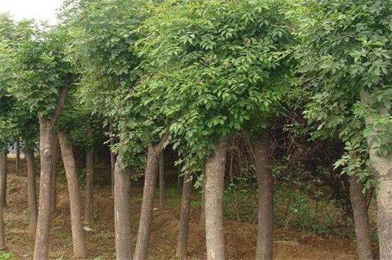 槐树为什么不能砍,会破坏风水带来坏运