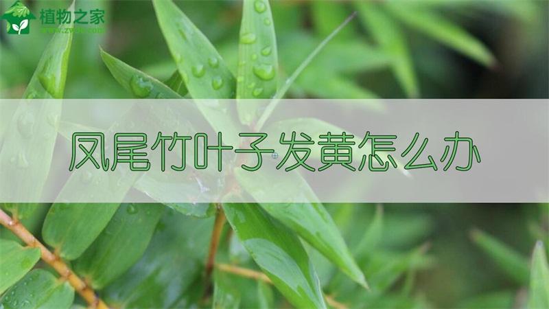 凤尾竹叶子发黄怎么办
