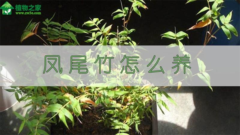 凤尾竹怎么养