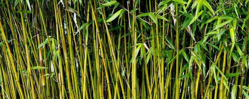 竹子是草本植物还是木本植物