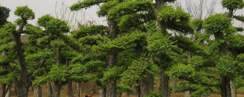 榆树怎么修剪
