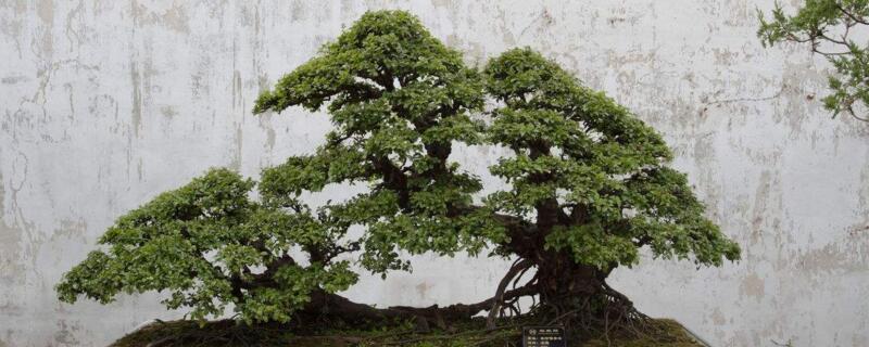 榆树盆景施什么肥