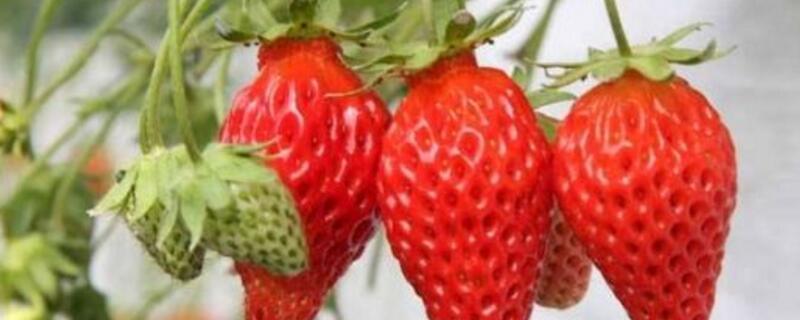 草莓的种类