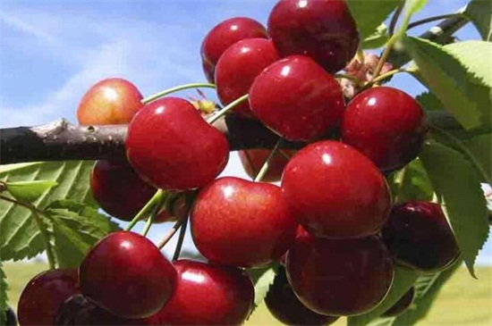 车厘子果树种植技术