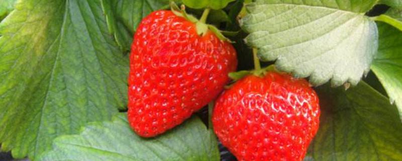 四季草莓一年结几次果