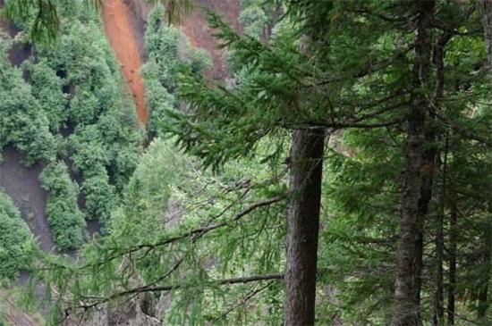 松树20年一颗卖多少钱,价格高达上万元