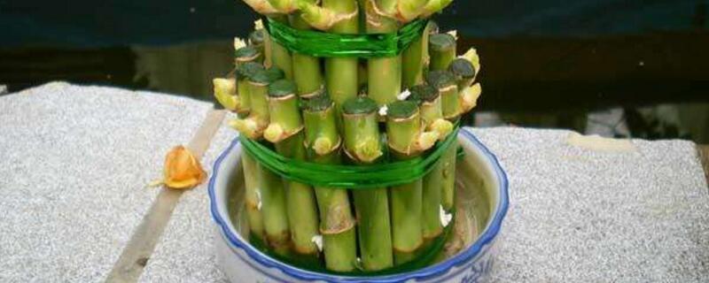 如何养富贵竹