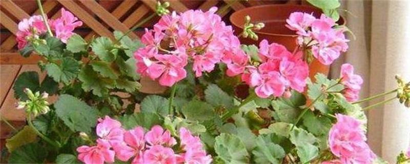 如何给花卉施肥