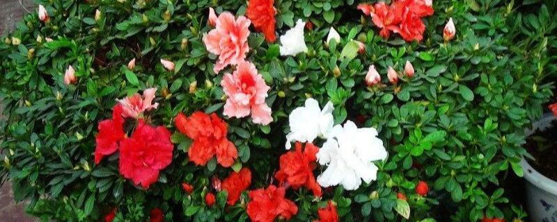 哪些花木不能打矮壮素,所有花木均可打但不宜过量